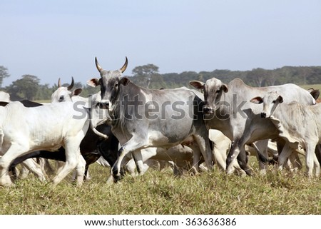 cattle in farm on countryside of brazil