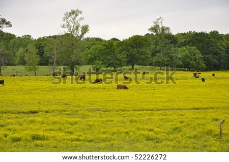 cattle in pasture - stock photo