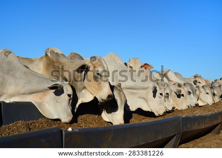 cattle in the farm - stock photo