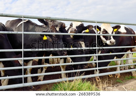 cattle of cows in field - stock photo