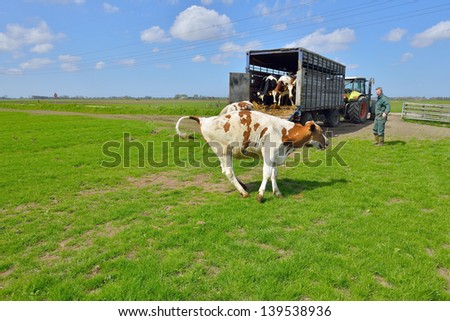 cattle of cows running in meadow after livestock transport - stock photo