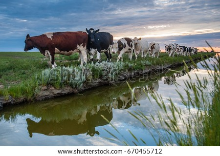 stock photo cattle of cows walking a along a water filled trench on the frysian mud flats known as it 670455712 docile stock images, royalty free images & vectors shutterstock Wire Harness Assembly at virtualis.co