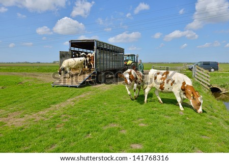 cattle of cows walking out of livestock transport truck in meadow - stock photo