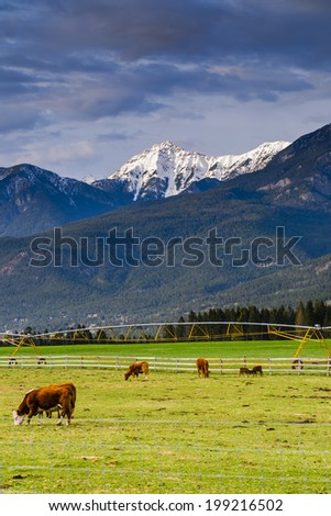 Cattle ranch in a mountain pasture Columbia Valley British Columbia Canada
