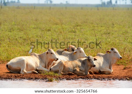 cattle resting - stock photo