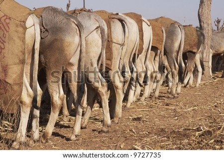 Cattle tethered at the Nagaur Cattle Fair, Rajasthan, India