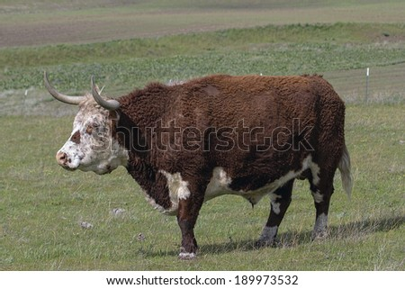 Cattle with Horns and Fur Side Full Body Portrait at Washington State Farm Ranch - stock photo
