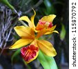 cattleya red yellow orchid flower in bloom in spring, thailand - stock photo