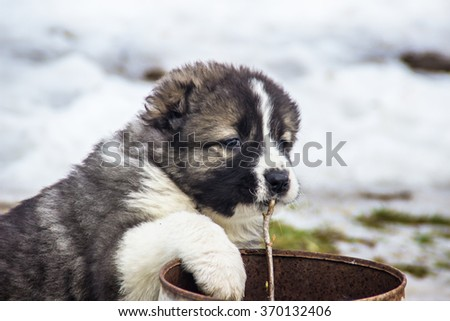 Caucasian shepherd dog decided to chew a branch of currant - stock photo