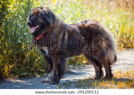 Caucasian shepherd dog outdoor exterior portrait