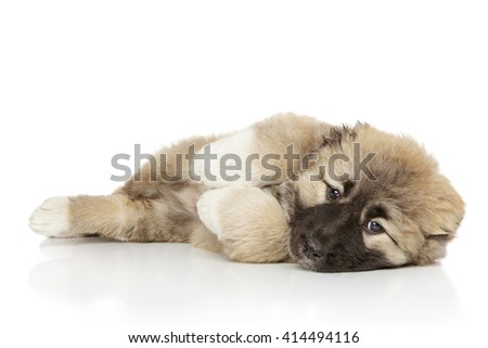 Caucasian shepherd puppy lying on white background