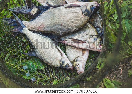 Caught crucial carp fish in the fishing nets on the grass of river bank - stock photo