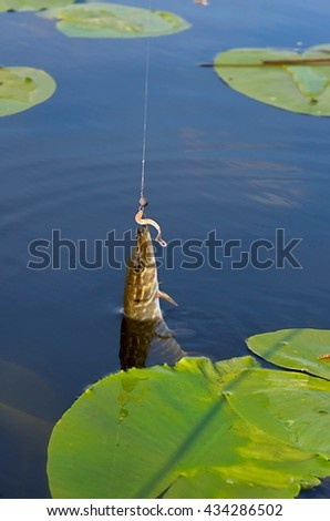 caught pike in the river among the lilies - stock photo
