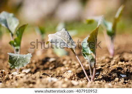 Cauliflower (Brassica oleracea) plants in freshly plowed and fertilized soil. Self-supply, organic food production, home gardening concept. - stock photo