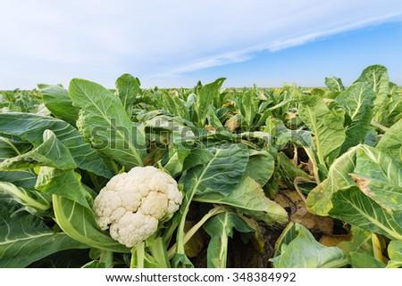Cauliflower field under the blue sky.Morning light - stock photo