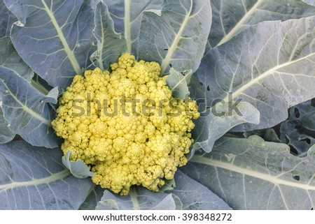 Cauliflower in the cultivation. Closeup of the cauliflower. Farmers market. Fresh organic vegetables growing at the farm. Salad vegetable. - stock photo