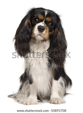 Cavalier King Charles dog, 14 months old, sitting in front of white background - stock photo