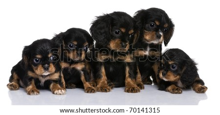 Cavalier King Charles puppies, 7 weeks old, in front of a white background - stock photo