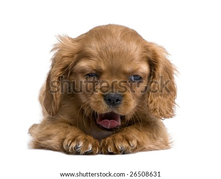 Cavalier King Charles puppy (7 weeks) in front of a white background - stock photo