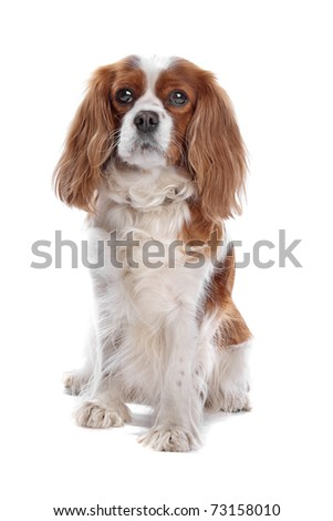 cavalier king charles spaniel - stock photo