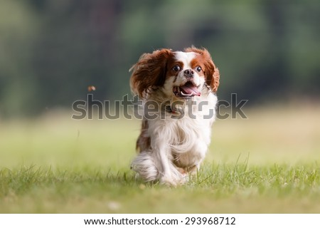 Cavalier king charles spaniel comes - stock photo