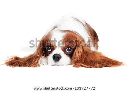 cavalier king charles spaniel dog - stock photo