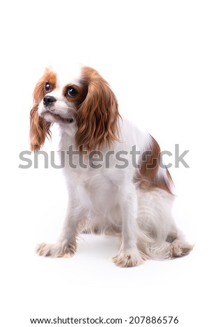 Cavalier King Charles Spaniel, Looking Left - stock photo