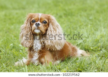 Cavalier King Charles Spaniel lying in the grass - stock photo