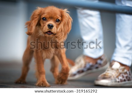 Cavalier King Charles Spaniel (4 months old) in front of a street background - stock photo