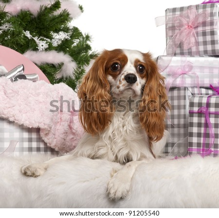 Cavalier King Charles Spaniel, 18 months old, lying with Christmas gifts in front of white background