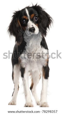 Cavalier King Charles Spaniel, 7 months old, standing in front of white background - stock photo