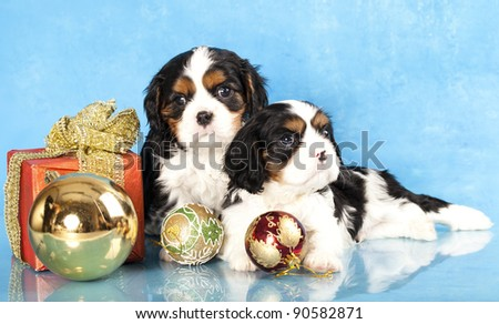 Cavalier King Charles spaniel puppies and gifts christmas , ball