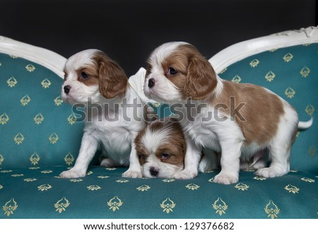 Cavalier King Charles Spaniel puppies one month old, cavalier King Charles puppies - stock photo