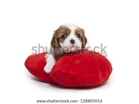 Cavalier King Charles Spaniel puppy on red plush pillow,Cavalier King Charles Spaniel puppy - stock photo