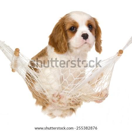 Cavalier king Charles spaniel puppy sitting inside miniature hammock on white background  - stock photo