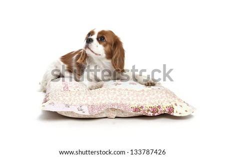 cavalier king charles spaniel resting on a pillow, cavalier king charles spaniel - stock photo