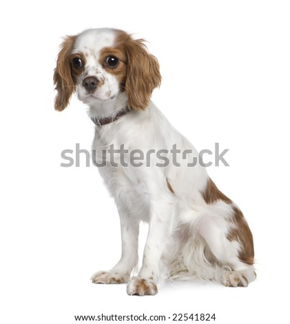 Cavalier King Charles Spaniel (1 year) in front of a white background