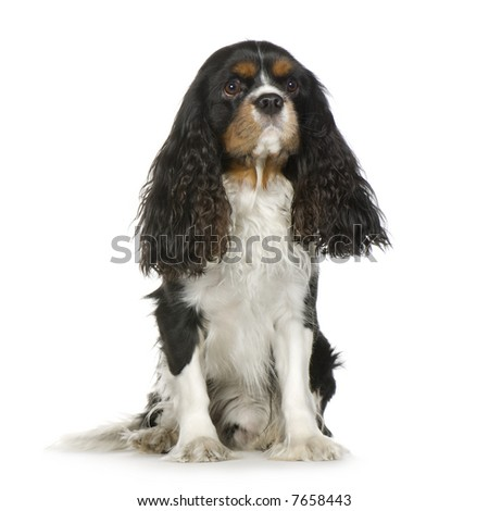 Cavalier King Charles Spaniel (2 years) in front of a white background - stock photo