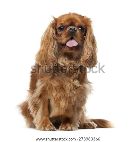 Cavalier King Charles Spaniel (2 years old) in front of a white background - stock photo