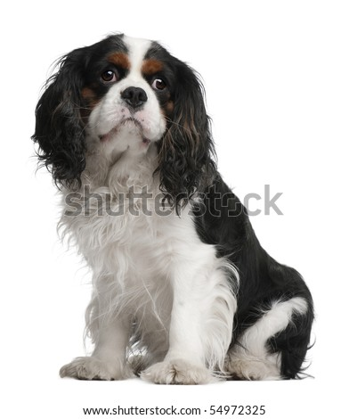 Cavalier King Charles Spaniel, 5 years old, sitting in front of white background - stock photo