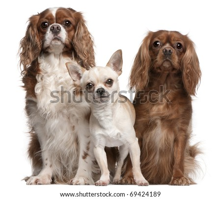 Cavalier King Charles Spaniels and Chihuahua in front of white background - stock photo