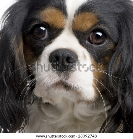 Cavalier King Charles (2 years) in front of a white background