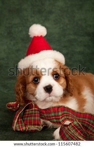 Cavalier puppy with Christmas ribbon and Santa hat on green background