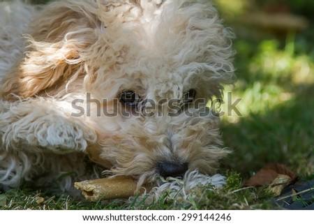 Cavapoo Puppy - stock photo