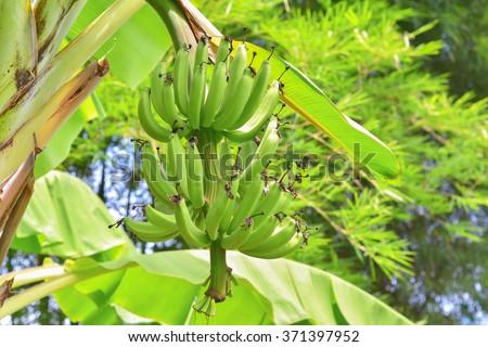 Cavendish Banana growing on tree - stock photo