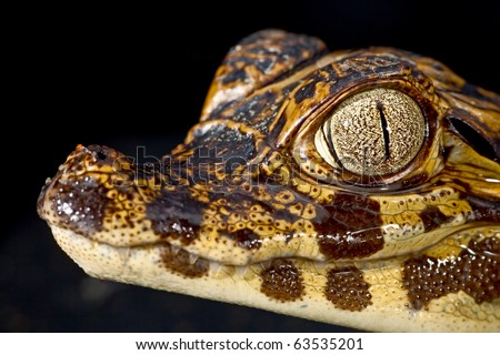 cayman reptile eye detail crocodile juvenile crocodile wild dangerous animal at night in amazon rain forest exotic tropical species aquatic predator gator or spectacled alligator - stock photo