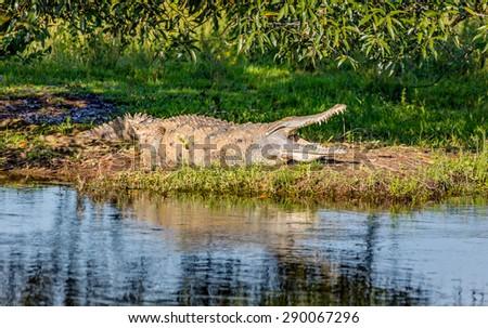 Cayman resting after dinner in the El Cedral - Los Llanos, Venezuela, Latin America  - stock photo