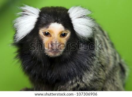 Cebuella pygmaea. Small monkey with white fluffy ears - stock photo