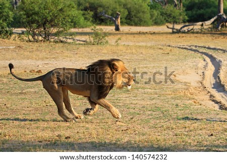 Cecil the Black maned Lion Running on the plains in Hwange National Park - stock photo