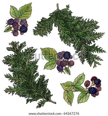 Cedar & Berries - stock photo